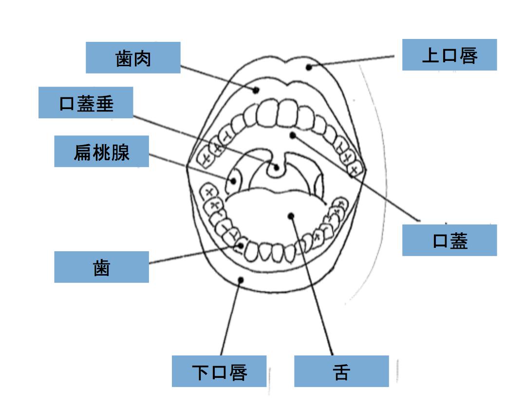 口腔の解剖