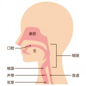 耳鼻科が対応する主な臓器には耳、鼻(鼻腔、副鼻腔)、のど(咽頭、喉頭、声帯)があり、上図のような位置関係にあります(耳は図示していません)。