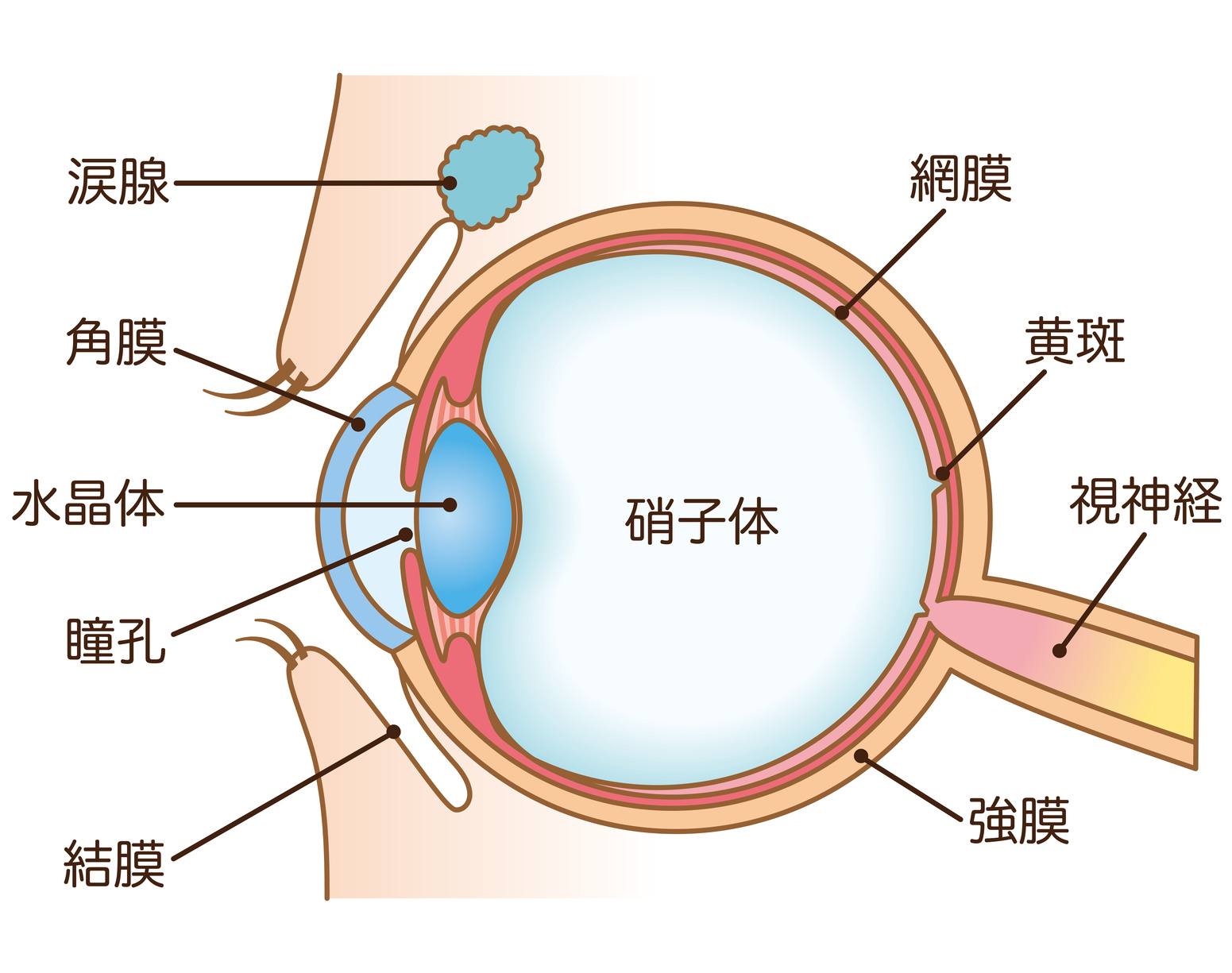 視神経乳頭陥凹、加齢黄斑変性 眼科